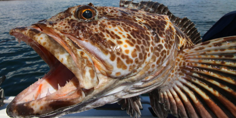 Lingcod – The Beast With Beauty In The San Juan Islands.